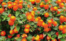 Hoa ngũ sắc với bài thuốc trị nấm da đầu dễ dàng